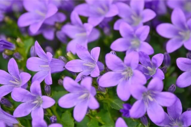 蕾の開運エネルギーとリンドウの花風水