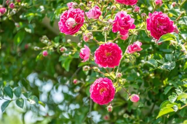 ルドベキア・紫のバラの枯らさない育て方、寄せ植え、開花時期