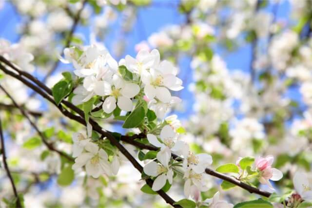 ヒヤシンス・アールグレー・アグロステンマの原産地、開花時期、育て方